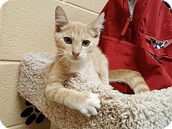 Domestic Shorthair Cat for adoption in Smithfield, North Carolina - Bubo SPECIAL ADOPTION FEE