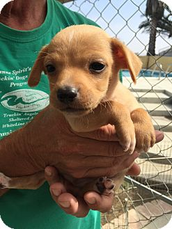 Boston Terrier/Chihuahua Mix Puppy for adoption in Corona, California - Bugsy Puddles Puppy