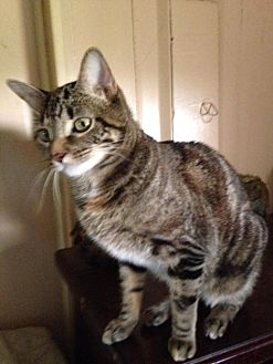 Siamese Cat for adoption in Trexlertown, Pennsylvania - Maggie*