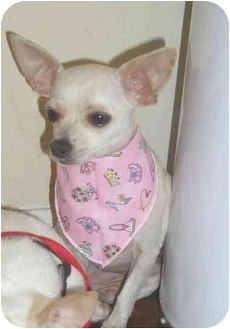 Chihuahua Puppy for adoption in Pembroke Pines, Florida - Edna