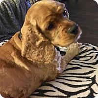 Adopt A Pet :: Sweetie - Santa Barbara, CA