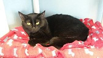 Domestic Shorthair Cat for adoption in Queenstown, Maryland - Niko