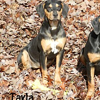 Adopt A Pet :: Tayla - Lawrenceburg, TN