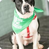 Adopt A Pet :: Bullet - in a foster home - Roanoke, VA