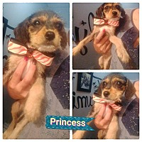 Terrier (Unknown Type, Small)/Yorkie, Yorkshire Terrier Mix Puppy for adoption in LAKEWOOD, California - Princess