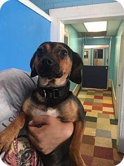 Beagle Mix Dog for adoption in Mission, Kansas - Cedrick