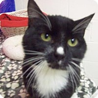 Domestic Shorthair Cat for adoption in Gulfport, Mississippi - Link