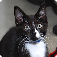 Domestic Shorthair Cat for adoption in San Francisco, California - Konnichipaw