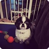 Japanese Chin/Shih Tzu Mix Dog for adoption in Cool Ridge, West Virginia - Blossom