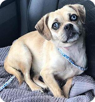 Pug/Chihuahua Mix Dog for adoption in Essex, Maryland - Lulu