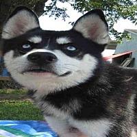 Adopt A Pet :: GUNNER - Pearland, TX