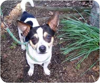 Chihuahua/Toy Fox Terrier Mix Dog for adoption in Winnsboro, South Carolina - Patrick