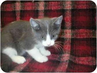 Domestic Shorthair Cat for adoption in Little Falls, Minnesota - Super man