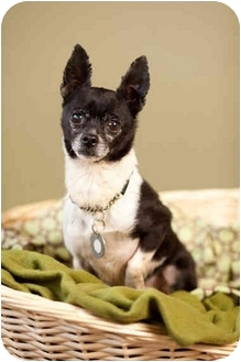 Rat Terrier/Chihuahua Mix Dog for adoption in Portland, Oregon - Miller