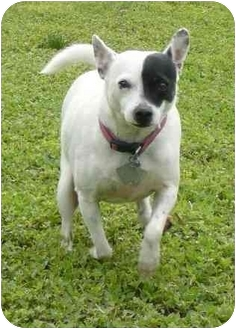 Terrier (Unknown Type, Small) Mix Dog for adoption in Calgary, Alberta - Spud (2)