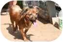 Papillon/Dachshund Mix Dog for adoption in Islip, New York - Winnie