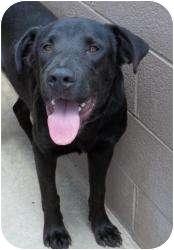 Labrador Retriever Mix Dog for adoption in Gaffney, South Carolina - Bubba
