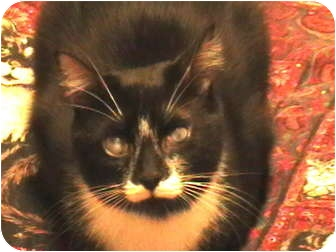 Domestic Shorthair Cat for adoption in Richfield, Ohio - Prince Charming