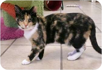 Calico Cat for adoption in Byron Center, Michigan - Meeka