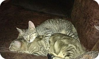 Domestic Shorthair Cat for adoption in Queensbury, New York - Jasmine and Bella