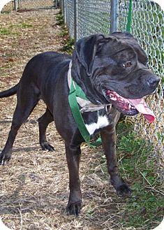 Boxer/Mastiff Mix Dog for adoption in Florence, Indiana - Daisy