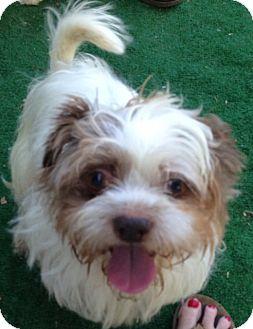 Lhasa Apso Dog for adoption in San Marcos, California - Ari
