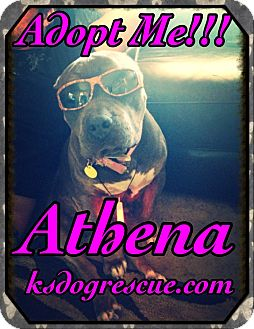 American Staffordshire Terrier Dog for adoption in Cheney, Kansas - Athena