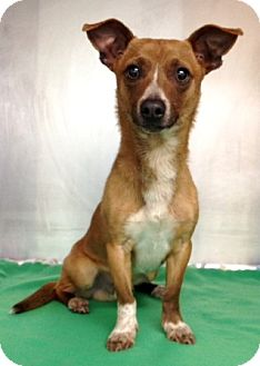 Dachshund/Chihuahua Mix Dog for adoption in Dublin, California - Gus