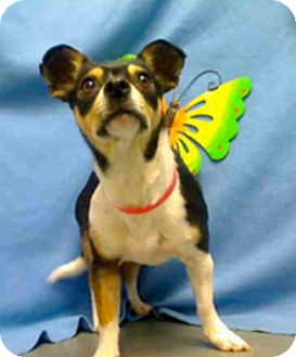 Chihuahua/Terrier (Unknown Type, Small) Mix Dog for adoption in Creston, California - Sunshine