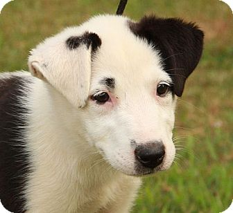 Border Collie Mix Puppy for adoption in Rochester, New York - Sneezy
