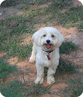 Bichon Frise Mix Dog for adoption in CLARKSVILLE, Texas - KELSEY