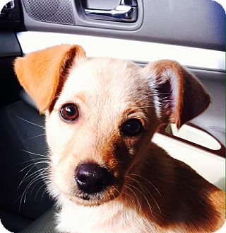 Pomeranian/Golden Retriever Mix Puppy for adoption in knoxville, Tennessee - ROXY