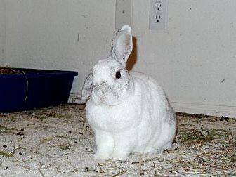 Mini Lop Mix for adoption in Mesa, Arizona - Chopper