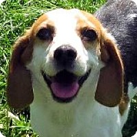 Adopt A Pet :: Sugar - Sweet Like Her Name! - Quentin, PA
