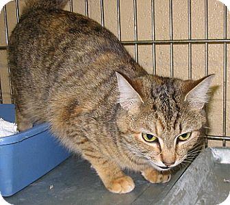 Domestic Mediumhair Cat for adoption in Dahlgren, Virginia - (no name)