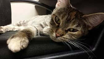 Domestic Shorthair Cat for adoption in Grand Blanc, Michigan - Clover
