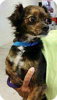 Japanese Chin/Chihuahua Mix Dog for adoption in Phoenix, Arizona - Tony