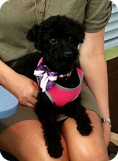 Poodle (Miniature) Dog for adoption in Mary Esther, Florida - Poodle black female