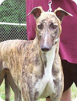 Greyhound Dog for adoption in Randleman, North Carolina - Denny