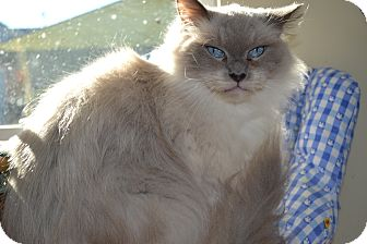 Siamese Cat for adoption in Kelso/Longview, Washington - Barney