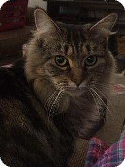 Maine Coon Cat for adoption in Acushnet, Massachusetts - Maggie