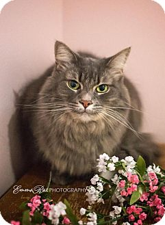 Domestic Longhair Cat for adoption in Sterling Heights, Michigan - Kathy
