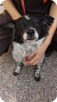Papillon/Spaniel (Unknown Type) Mix Dog for adoption in Westminster, California - Puffin