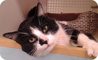 Domestic Shorthair Cat for adoption in Richmond, Virginia - Spencer