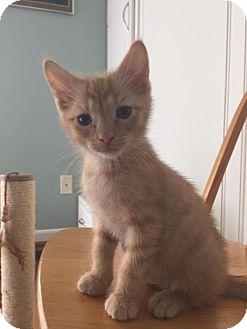 Domestic Shorthair Kitten for adoption in Union, Kentucky - Sonny