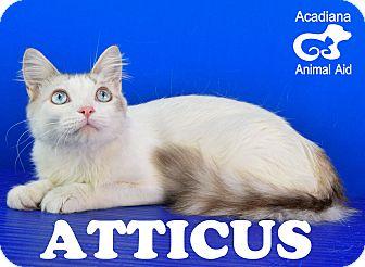 Domestic Mediumhair Cat for adoption in Carencro, Louisiana - Atticus