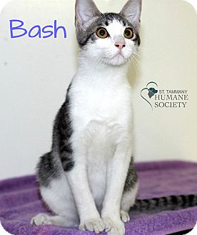 Domestic Shorthair Kitten for adoption in Covington, Louisiana - Bash