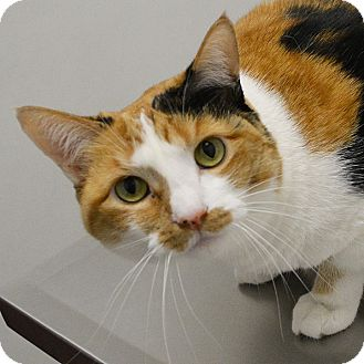 Calico Cat for adoption in Springfield, Illinois - Honey