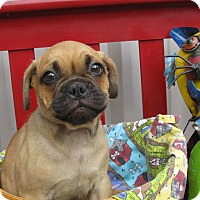 Adopt A Pet :: Gadget - South Dennis, MA