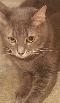 Domestic Shorthair Cat for adoption in West Palm Beach, Florida - Lily
